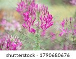 Cleome  Commonly Known As...