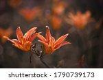 Two Large Flowers Orange Lilium ...