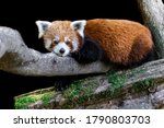 Red Panda With A Black...
