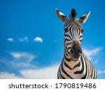 Portrait Of Zebra And Sky On...