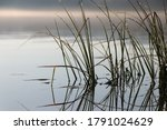 Close Up Of Green Reeds In Lake ...