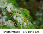 Small photo of Macro of many Galls or cecidia outgrow of Galls wasp eggs on the surface of Fagus leaves