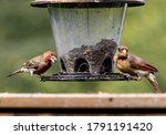 House Finch And Northern...