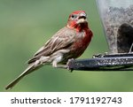 A House Finch At The Feeder.