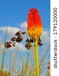 Vibrant Red Hot Poker Or Torch...