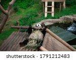 Giant Panda Snacking On Bamboo.