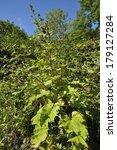 Small photo of Lesser Burdock flowers - Arctium minus View of whole plant