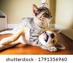Shiba Inu Puppy And His Friend...