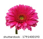 Pink Gerber Flowers  Isolated...