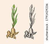 ginger root  chopped rhizome ... | Shutterstock .eps vector #1791429236