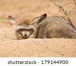 african fox  otocyon megalotis  | Shutterstock . vector #179144900