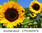 Fully blossomed sunflower with blurred flowers in the background closeup image.
