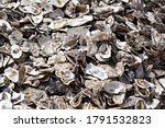 Oysters Shells Heap Close Up