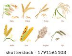 cereals stems flat... | Shutterstock . vector #1791565103