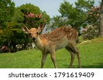 Small photo of Nara, Japan, August 6, 2020 : Wild Sika deers in Nara Park, Japan.Wild deer in Nara Park in Japan. Deer are symbol of Nara's greatest tourist attraction.
