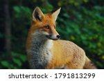 Red Fox   Close Up Portrait...