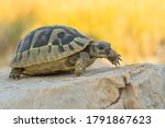 Small photo of Hermann's tortoise (Testudo hermanni boetgeri) walking on a path. Cute yellow turtle in its habitat. Insect detailed portrait with soft yellow background. Wildlife scene from nature. Croatia