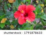Red Gumamela Or   Hibiscus  ...
