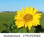 Big sunflower with alley of...