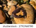 Crab close up on a stone.Crab Xantho poressa purple. Marine inhabitant of the Black Sea.