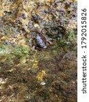 Adriatic Crab Pachygrapsus...