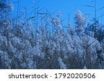 White Fluffy Grass Plumes With...
