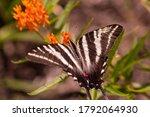 Zebra Swallowtail Butterfly...