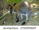 Cute little brown kangaroo in...
