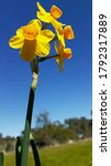 Yellow Jonquils In Bloom Under...