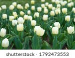 Group Of White Holiday Tulip...