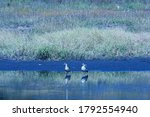 Two Egyptian Geese At The Edge...