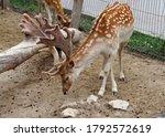 The European Fallows Deer In A...