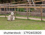 The beautiful Alpacas roaming the field, George Mead memorial stables, Welling, London