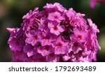 Flowers Phlox Garden Tender And ...