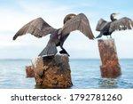 Two Black Cormorants Flap Their ...