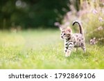 A Cute Curious Spotted Bengal...
