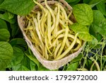 New Harvest Of Organic Yellow...
