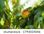 growing peach with green leaves ... | Shutterstock . vector #1793025046