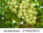 growing grapes with green... | Shutterstock . vector #1793025073