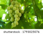 growing grapes with green... | Shutterstock . vector #1793025076