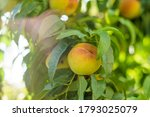 growing peach with green leaves ... | Shutterstock . vector #1793025079