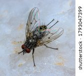 Small photo of flesh fly on quartz, these are known as pesky insects.