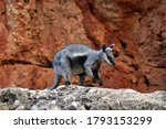 A Black Flanked Rock Wallaby In ...
