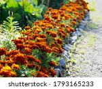 Colorful French Marigolds ...