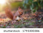 Little red squirrel  sciurus...