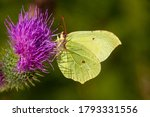 Gonepteryx Rhamni  Known As Th...