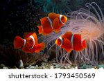 Beautiful Color Clownfish On...