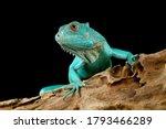 Blue Iguana Closeup Head  Blue...