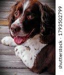 English Springer Spaniel Dog ...
