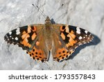 Painted Lady  Vanessa Cardui ...